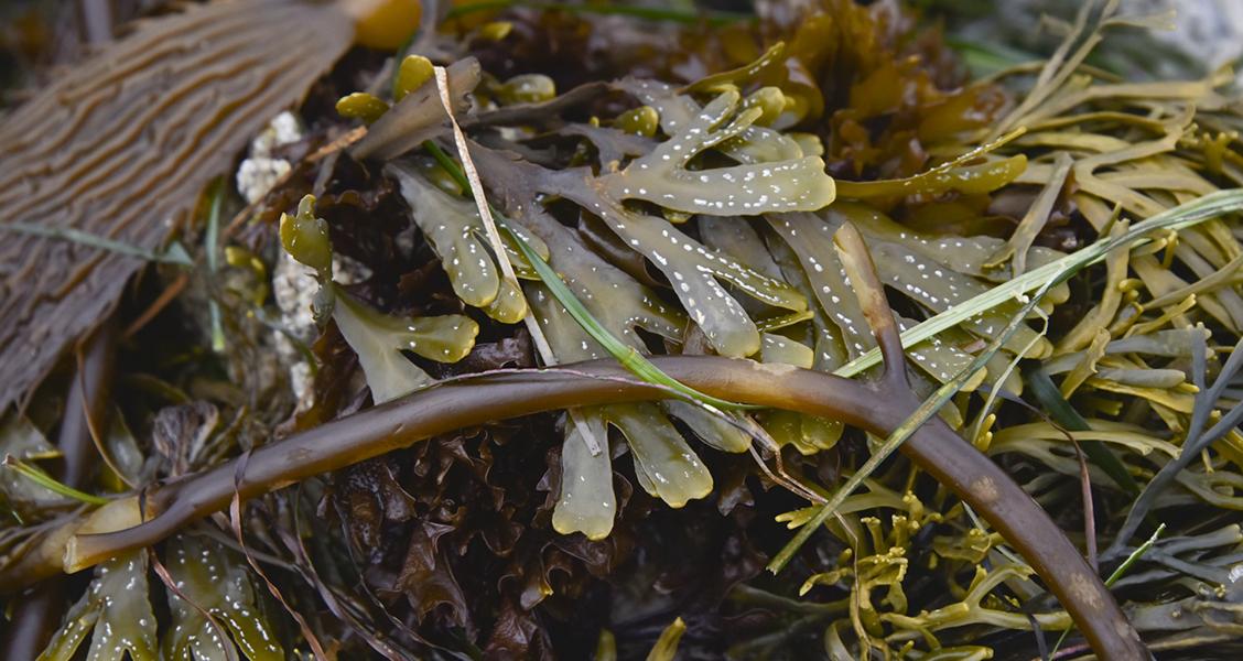toepassingen zeewier duurzaam voedsel
